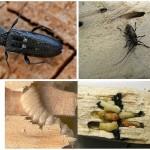 Способы обработки древесины от насекомых — борьба с жуками-древоточцами (шашелями)