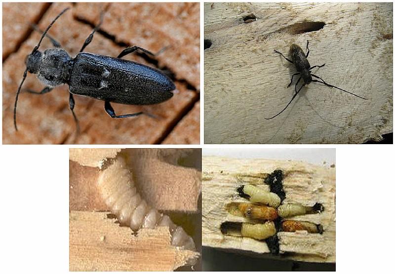 Фото 1. Разновидности жука-древоточца и его личинок