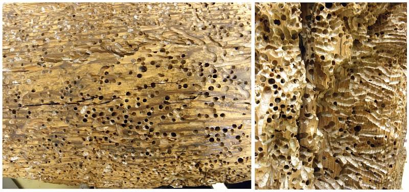Фото 2. Примеры разрушения древесины древоточцем (шашелем)