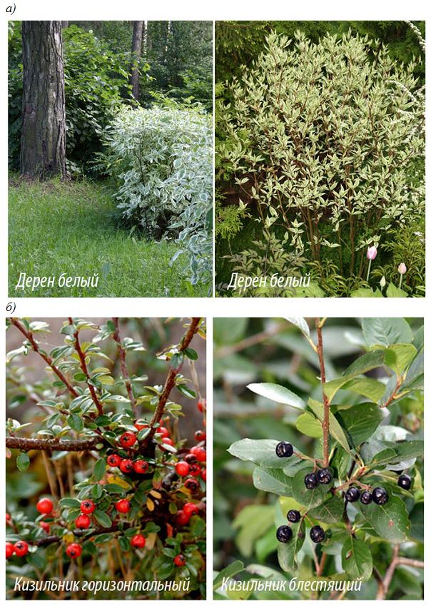 Неколючие растения для живой изгороди средней высоты