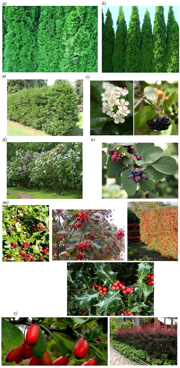 Растения для живой изгороди в виде стены